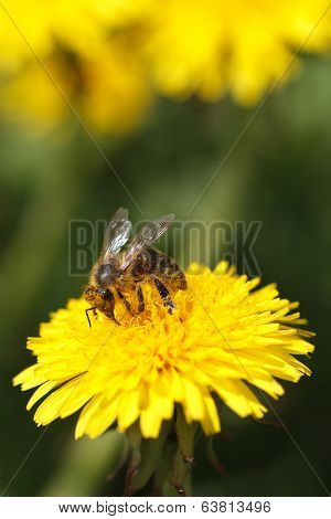 Bee Collecting Pollen On Yellow Flower Dandelion