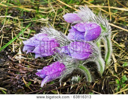Group Pasque-flower During Rain. April