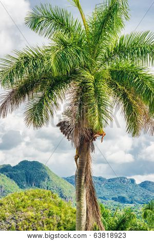 The Vinales Valley in Cuba with a typical royal palm tree on the foreground