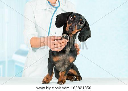 Vet Listens Dog