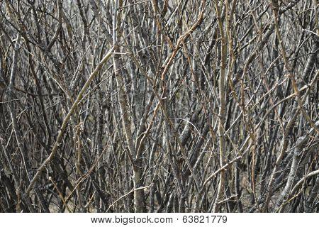 branch bush