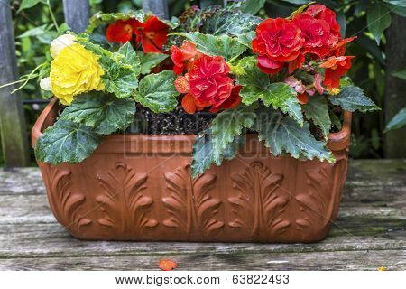 A terracotta planter filled with colorful 'Nonstop' Begonias on a wooden deck.