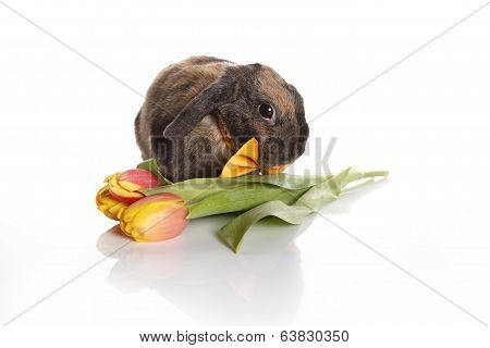 Rabbit With Bow Tie And Tulips