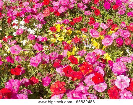 Petunia Flower Nature Garden Background Pattern