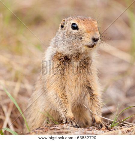 Cute Arctic Ground Squirrel Urocitellus Parryii