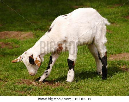 Grazing White Dwarf Goat