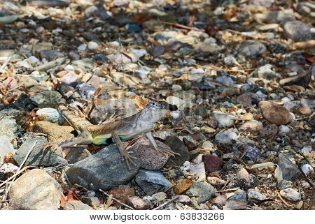 Arizona Lizard Camouflaged in Rocks