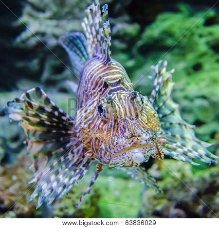 Poisonous Exotic Zebra Striped Lion Fish