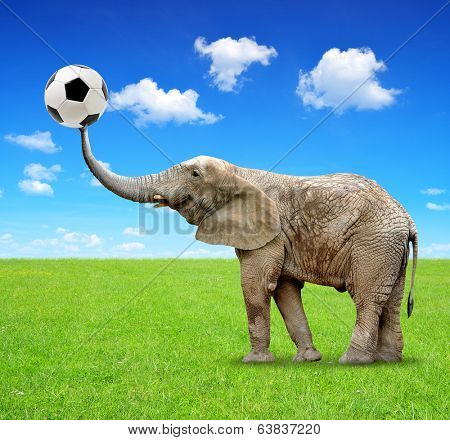 African elephant with soccer ball