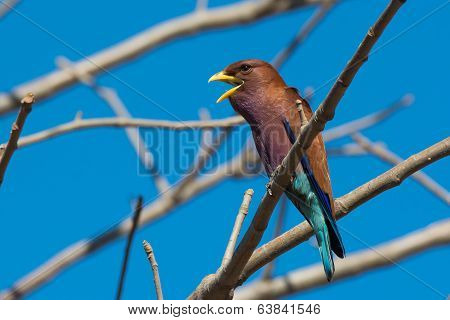 Broad Billed Roller With Its Mouth Open Perched In A Baobab Tree