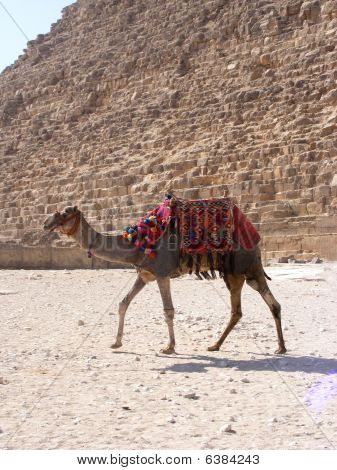 Camel in front of pyramid at Giza