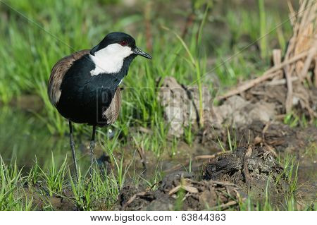 Spur-winged Lapwing (vanellus Spinosus) On A Grassy Island In A Marsh