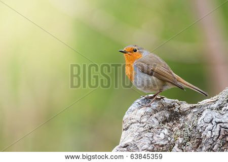 Red Robin With Green Background