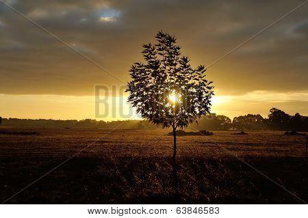 Little Plane Tree At Dawn