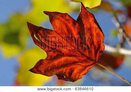 Liriodendron Leaf In Autumn