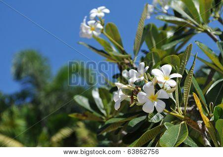 Ficus Flowers Closeup