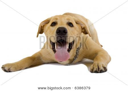 Funny Picture Of A Labrador Retriever