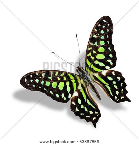 Tailed Jay Butterfly Flying Isolated On White Background With Soft Shadow
