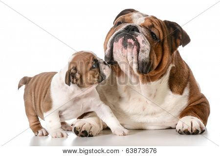 adult dog and puppy english bulldogs