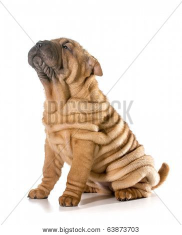 chinese shar pei puppy sitting looking up isolated on white background - 4 months old