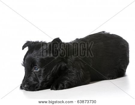 Scottish Terrier puppy with shy bashful expression isolated on white background
