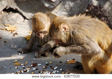 Monkeys Eating Chickpeas