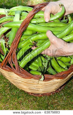 Broad Beans Basket