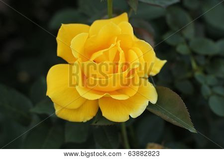 yellow rose in shade