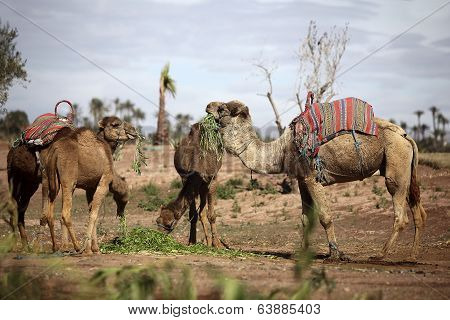 Dromedaries In The West Sahara
