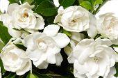 foto of gardenia  - bouquet gardenia plant - JPG