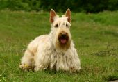 foto of scottish terrier  - The Scottish Terrier  - JPG
