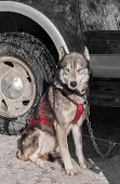 image of sled-dog  - Sled Dog Sits By Truck  - JPG