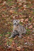 image of bobcat  - Bobcat Kitten  - JPG