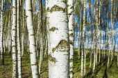 stock photo of birching  - Birch forest - JPG
