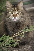 stock photo of hairy tongue  - In the summer in the street in rural areas the cat shows tongue - JPG