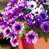 stock photo of planters  - Colorful multiflora petunias in an orange wooden planter or window box - JPG