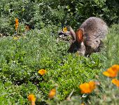 image of rabbi  - Wild Cottontail Brush Rabbi in green spring grass with california poppies - JPG