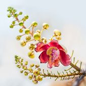stock photo of cannonball  - Closeup of cannonball or couroupita guinensis flower