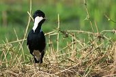 picture of spurs  - A Spur-Winged Lapwing (Vanellus Spinosus) on alert on a grassy bank