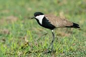 picture of spurs  - A Spur-Winged Lapwing (Vanellus Spinosus) in a grassy field