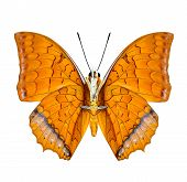 foto of malay  - Malay Rajah butterfly lower wing profile in natural color isolated on white background - JPG