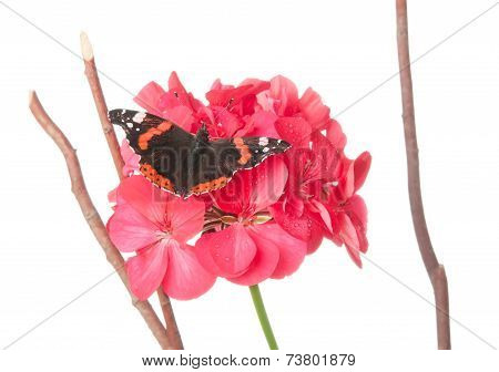 Admiral Butterfly On A Geranium Flower Isolated On White