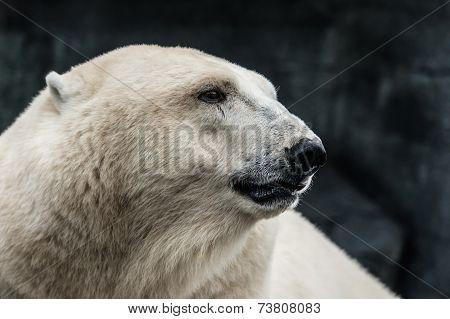 The head of a thoughtful polar bear