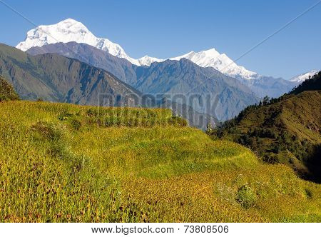 Dhaulagiri And Paddy-field