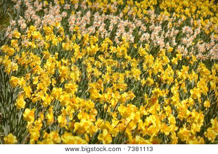 Field Of Yellow And White Daffodils