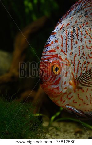 Red discus fish in natural environment