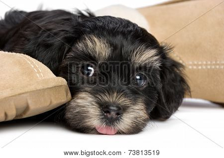Cute Havanese Puppy Dog Is Waiting For Her Owner
