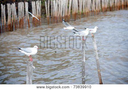 Beautiful Gull Flying At Bangpoo
