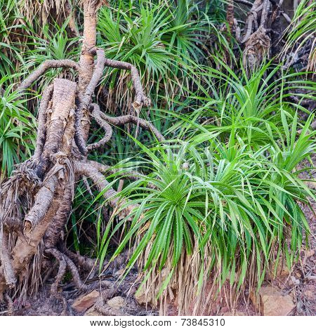 Tree  Pandanus In The Natural Environment, India, Closeup