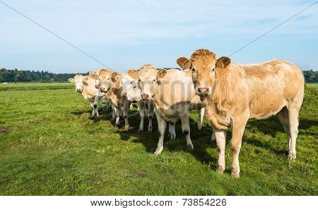 Curiously Looking Cows In A Row